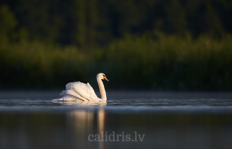 Paugurknābja gulbjis / Mute swan