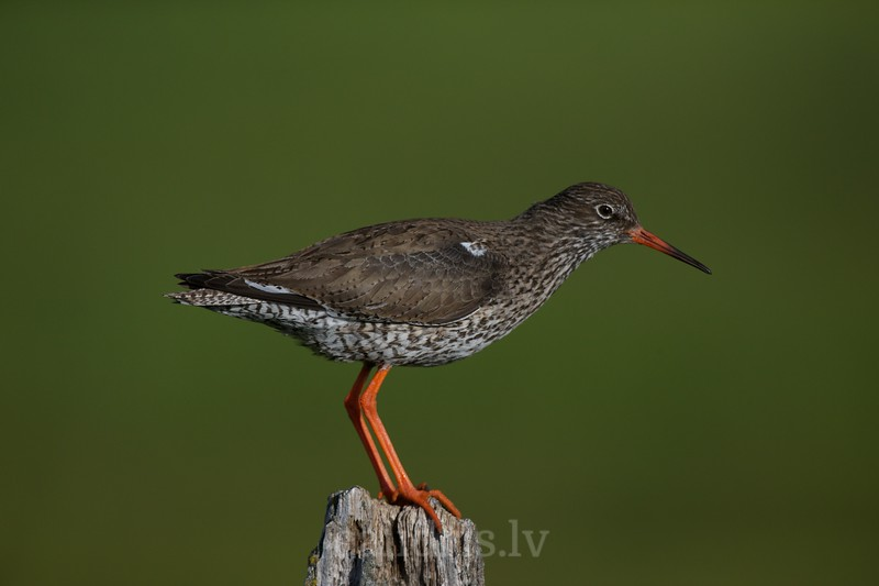 Common Redshank stands on the top of a fence post
