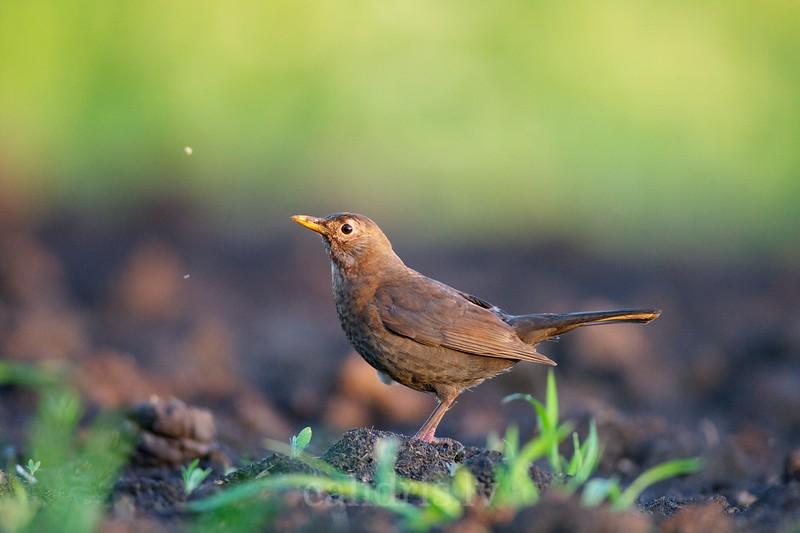 Blackbird, female / Melnais meza strazds