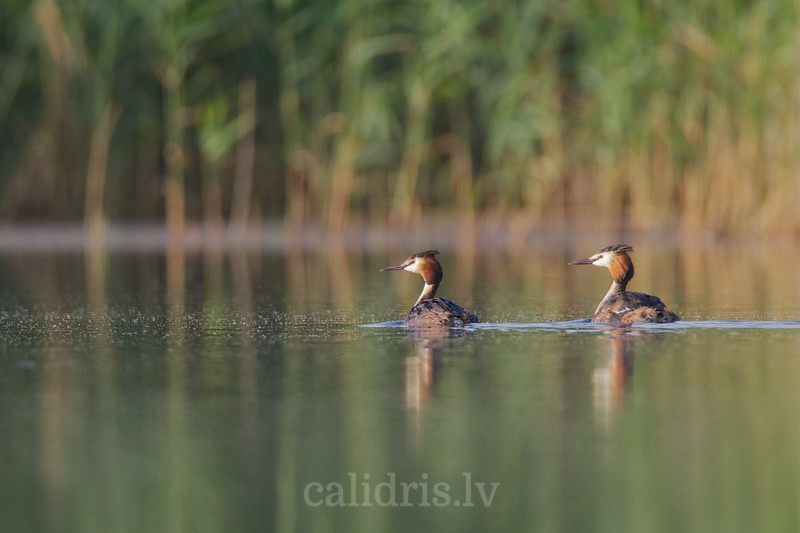 Great Crested Grebe couple