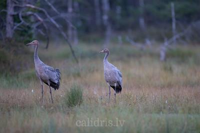 Dzērves / Cranes / Grus grus