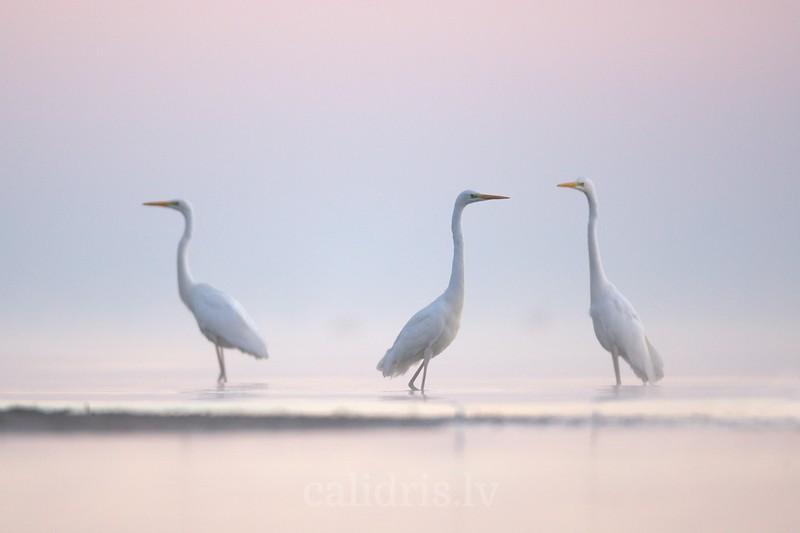 Great Egrets in misty sea