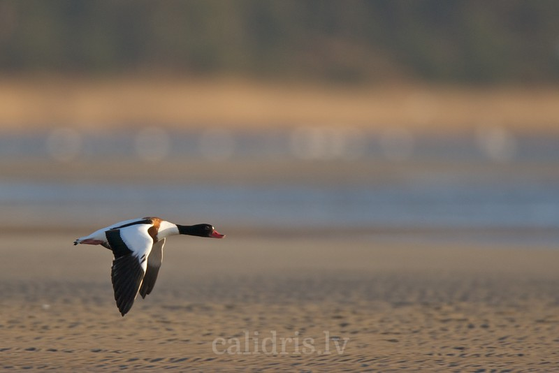 Shelduck in flight over beach