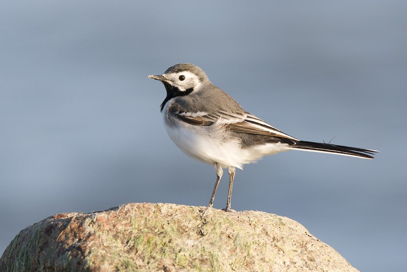 Pied Wagtail (ad. male)