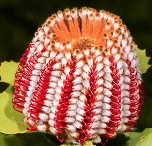 Strawberry Banksia Bloom