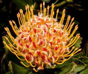 Pinchusion Flower