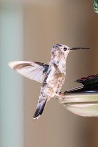 Partial Leucistic Anna's Hummingbird