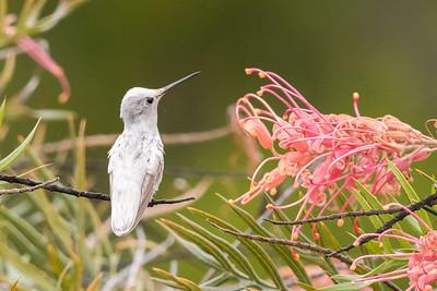 Leucistic Hummingbird