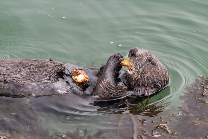 Otter eating crab