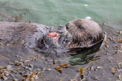 Otter eating crab