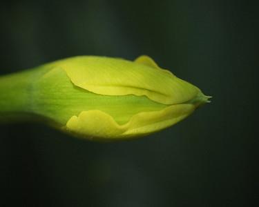 Tulip_Birth_2010