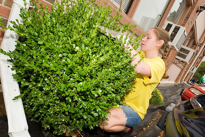 Westfield State University student Lauren Denio, class of 2014, and resident of Webster, MA works on planting shrubs outside of the Westfield Evening News as part of WSU's HOOT Day (Helping Out Our Town) Tuesday Sept. 6th 2011