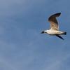Bird in flight. Massachusetts Ave. (Harvard Bridge), Boston