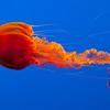 Jelly Exhibit, Monterey Bay Aquarium, CA