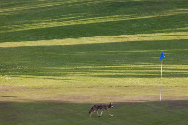 Fox on golf course near Legion of Honor, San Francisco, CA.