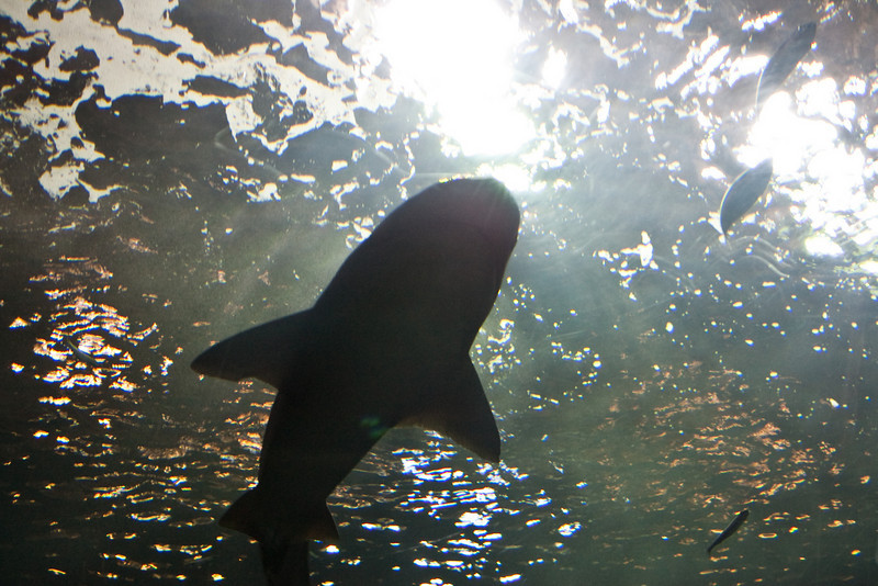A shark at the Oregon Coast Aquarium
