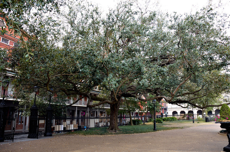 This is a tree growing in Jackson Square, and I thought that the shape of it was really interesting.