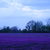This is a field that is normally farmed, but was overrun by purple flowers for about a month in the spring of 2013.