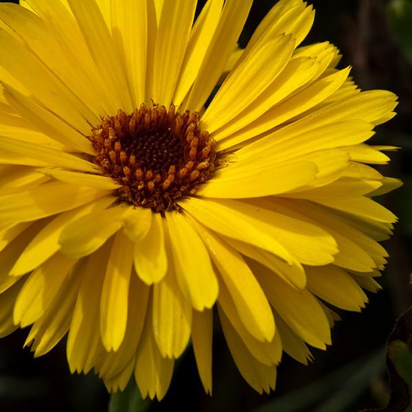 Yellow Gaillardia