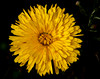 Yellow Calendula officinalis