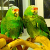 """these two parrots were called the """"two old ladies"""" because they just sat there and observed. Sadly, they have been adopted and brought back three times. We don't know why."""