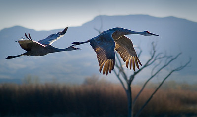 'Sandhill Cranes in Flight' - Bosque del Apache National Wildlife Refuge, New Mexico, USA