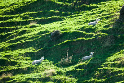 Sheep on Hillside