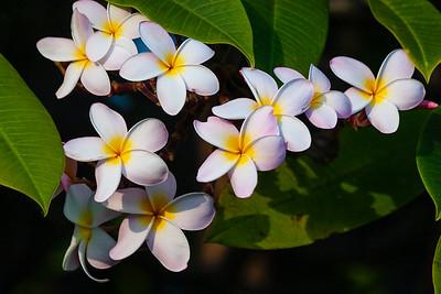 Frangipani, Hawai'i
