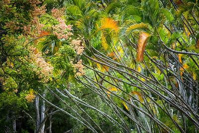 Liliuokalani Palms