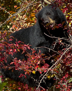 Tetons Bear