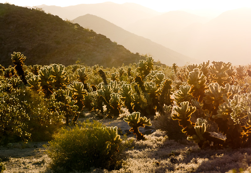 'Cholla Blanket' - Joshua Tree National Park, California
