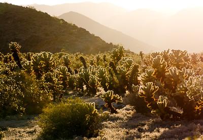 'Cholla Blanket' - Joshua Tree National Park, California