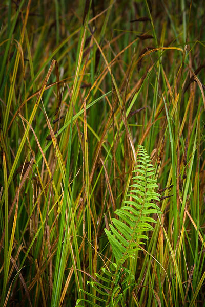 'Fern and Grass' - Redwood National Park, California