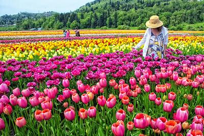 Abottsford Tulip Festival