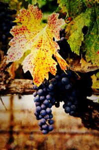 Aged Vine.