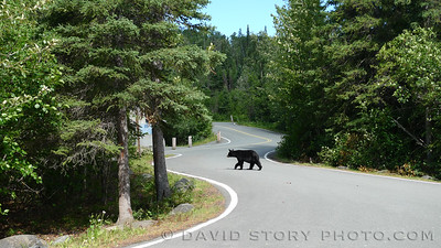 Black bear (Ursus americanus) at Upper Skilak Landing.