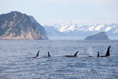 Family of orca.