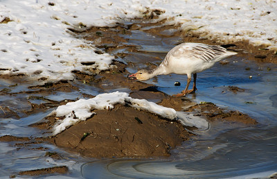 "02 Mar 11  Waiting for some flight action while standing on the side of the road, I noticed that a few of the geese were approaching a spot near me where there was a very slight mounding of the farmland. Apparently it was providing sufficient warmth for some of the standing ice to melt and offer a very small watering hole. As one looked out over the fields it was very much the case of ""water, water every where and not a drop to drink"", (apologies to Coleridge) except for this one small location. I watched this one animal taking sips for a period of perhaps 10 minutes, occasionally raising its head into the sunlight, such that it looked as though it had spent some time in a dental chair having a few gold crowns installed. Sorta reminded me of that villain of villains in Goldfinger, Odd Job, played by Harold Sakata. The goose however was just there getting a drink. While this individual was drinking no one else approached, but once finished and departed, several more all came at once to get a sip. Referencing back to yesterday's comments on the uplifted feathers on the three geese, it was suggested by a former Naval Aviator that in fact those feathers may be serving the function of spoilers, allowing for the geese to make a steeper angle of descent while landing. ISO 200; 1/1250 sec @ f / 9."