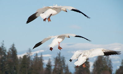 "01 Mar 11  From both my years of flying as an Aerospace Physiologist while on active duty, and having grown up in a Boeing Aircraft family, I find it impossible to not make comparisons between the marvelous creation for flight seen in birds and the crude but fully functional approximations in our aircraft. While I was watching these Snow Geese land on Friday last I couldn't help but make the comparison of the wing tip feathers on the geese and trim tabs on the wing of a plane. Having watched many raptors from above, it always amazes me how simply tweaking those distal feathers allows them to make some very subtle adjustments in their flight. I have no doubt that the same is occurring in the landing of the geese as captured in this image, however it wasn't quite so obvious, likely because of the difference in timing; soaring in the case of the raptors and near ""crash"" landing with the geese. I also wanted to make a comparison with the elevated feathers in the backs of the geese and speed brakes in modern aircraft, but I think that is more likely wishful conjecturing than actuality. Nonetheless, it is fun to watch these beautiful birds both in flight and as the transition to and from it.  ISO 200; 1/1600 sec @ f / 9."