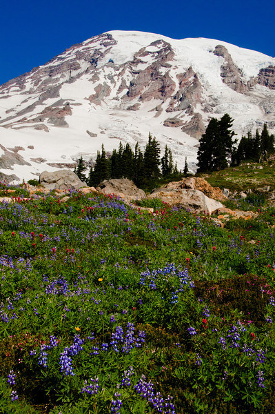 11 Aug 11.  It is coming around to the time of year that the wild flowers at Mt Rainier should start pushing through the snow and making a presence. Last year the third week in August had them at their prime, as this image will attest, at least for Lupine. This year's weather has been very different, with one of the largest and lingering snow packs in several decades. As such, I'm beginning to wonder when we will be able to get up there to photograph the flowers. Jan leaves in a couple of weeks to go visit new grand daughter Svea for a 3 week stay; since that stay coincides with wild flower season on the Mountains, my plan is to exploit that time to maximize the opportunities, should they occur this year at all. If not, we'll just have to use some more of last year's collection, like this one.  ISO 400; 1/400 sec @ f / 20.