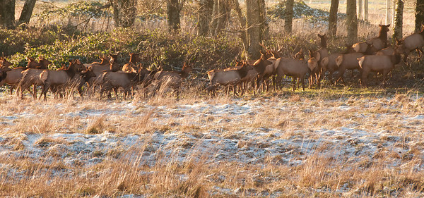 Traveling up to Rockport to shoot the eagles as we did on that last Friday in December offered us a sight we have never before experenced, and that was to see a herd of wapiti free roaming on this side of the Cascades. Now to be sure we have seen signs warning of elk crossings in many areas in our lives, as well as having visited elk reserves in eastern WA, but to actually see the critters we've been warned about lo these many decades free roaming was a real treat. We were driving along highway 20 outside Concrete by perhaps 10 miles when I noticed a truck on the side of the road so I slowed down, tourist-like, to see what had caused the driver to pull off and noticed the herd crossing a farmer's field. I quickly pulled to a stop with Jan telling me I'd never have time to get a photo but I persevered since I had nothing better to do and besides, the dog needed a road stop as well. So out I hopped, grabbed as many shots as I could before they crossed over into a more secluded area, and then, nearly frozen in the low 20 temps and ever brilliant morning sunshine, tried to coax the dog into doing whatever it was she thought she needed to do which it turned out was to sniff every blade of grass available and then get back intothe vehicle. And that was the first and last time we've seen a wild herd of wapiti. ISO 320; 1/125 sec @ f / 10.