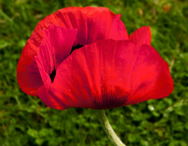06 Jun 11. Departing for the other side of the pond (Puget Sound) on Thursday morning I observed that our grouping of Icelandic Poppies were starting to present a very nice display that I would be missing almost in its entirety. But one blossom in particular was making itself an interesting object with just the right amount of water remaining on the petals and some briefly decent light appearing between all the rain. So it was a quick shot snap and then off to chase the ferries. I got the image where I wanted it and then decided that since I've only seen a grouping of blue poppies once, that I would convert this particular plant to a blue poppy. Got the color almost perfect although a wee bit darker than I wanted before realizing that a orange fringe remained at the very edges which rendered the transformation useless, so I would up going back to the original color to share. In the process it became very obvious that as I decreased the brightness of the image I got significantly more detail in the petals but the entire image was getting too dark. If anyone has a suggestion as to how to work around this behavior I'm interested in learning how to do it. ISO 200; 1/200 sec @ f / 9.