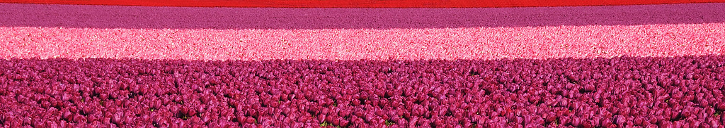 18 May 11. Back to the tulip fields again before these lovely flowers are gone for yet another year. This image may remind some of you of the title of a 1998 movie (fictional) about Guadalcanal in World War II. It is a faked panorama in that it was created by severely cropping a single image to give the impression of being a very wide expanse. In truth the entire was field was just that, but a typical shot does not satisfactorily convey that well so I elected for the pano approach. This was taken last year prior to my work with the stacking approach for increased depth of field, and I think the difference will be very obvious should you elect to compare this image with any of those I've shared over the past 10 days. ISO 640; 1/500 sec @ f /11.
