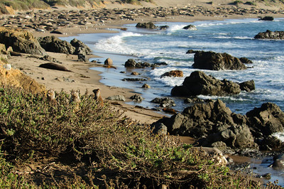 22 Feb 12.  With the rock theme going as well as it is I guess we'll just continue. About 7 miles north of San Simeon, CA on Hwy 1, is located the Piedras Blancas rookery, home to about 17,000 Northern Elephant Seals (Mirounga angustirostris.) Unlike the Ano Nuevo site that wanted to charge us $50 to visit, the Piedras Blancas rookery is open to the public 24/7/356 (366 this year) and at no charge. As we were driving north along Hwy 1, we noticed a sign saying elephant Seal viewing. As the parking area appeared jammed we thought there might be something worthwhile seeing so we stood on the binders and found our way into the parking lot. It was very full, but we found a spot at the very back end and proceeded to make our way to the fence directly in front of us to see what I'm sharing today. During our first tour in CA, back in the early 80s, we loved to watch the California ground squirrels (Otospermophilus beecheyi) which are much larger than our local critters and a bit more on the take when provided the opportunity. As we were looking out to see the view, mostly of the males from this initial vantage point, we were confronted by several of these guys demanding protection rations. Signs all over said don't feed the animals, but apparently they were not easily understood as they were in English only. Preparing to photograph the bulls, I was kept under continuous surveillance by several of the local GSM (ground squirrel mafia) to make certain that an appropriate amount of payment was forth coming; it was. For their efforts, I got a couple of nice portraits. There are, by the way, four members represented in the image.  ISO 250; 1/250 sec @ f /13.