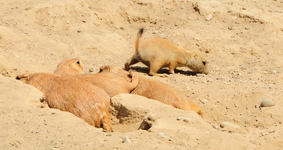 30 Jun 12.  It being the baby time of year I thought I'd share one of four baby Prairie Dogs. These guys were perhaps 5 inches in size, so I guess we'll have to consider this a close up, or even a macro, depending on your viewing screen size. They are part of a colony of Prairie Dogs that sit atop of the visiting area on the Olympic Game Farm. There were perhaps 20 + of these little guys but it was hard to get an accurate count as they kept going in and coming out of their burrows at a fairly fast rate. It would have been fun to just sit and watch them for a spell, but as we arrived late at the farm we paid them only a short visit. But with this image you can watch this group for as long as you'd like. I've never seen one in the wild, but it sure would be fun to come upon a group of them somewhere in the mid-south west and just sit and watch them, image collecting or not. ISO 200; 1/400 sec @ f /10.