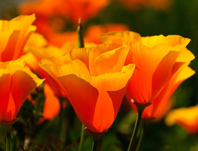 11 May 12.  Returning home Wednesday evening I noticed a grouping of California poppies alongside the road not far from the house. I told myself that if Thursday's lighting was good, I needed to take a few minutes out of the day and do a little work with them. Since Thursday was to be a day off from the project, to catch up on the plethora of things not being attended to with all the cross county work, it seemed like the perfect plan, and it was. My original thoughts were that I would tackle the project in the evening light, but returning from an errand in the early afternoon turned out to be about as good as I could ask for, so I took about 10 minutes out of the day to see what I could do with a long but narrow stretch of sidewalk bulkhead flowers. After transferring the shoot to the computer, I found I was pleasantly surprised at how well the material presented and elected to work up several different versions of the poppies. This is a straight shot save for some critical cropping - to get the effect I wanted - with the exception of one spent blossom which I toyed with removing but in the end didn't. I'm thinking however that I may well remove it in another effort to see if I prefer the difference. You might also want to try playing with the image by removing that one spire to see if you like it better. The purists in the photographic world would definitely want it removed, but I have mixed feeling about it. In once sense it is a bit distracting, sticking up all alone like it is, but in another it provides for added perspective of the entire garden. So I leave it up to you as to which you would prefer and imagine that at least one of you will send me your preferred rendition.   ISO 200; 1/800 sec @ f /10.   As things are turning out, I will likely be signing off at the conclusion of next Fridays' mailing (18 May 12). I expect it will be between 10 days to 2 weeks of downtime and then back on-line.
