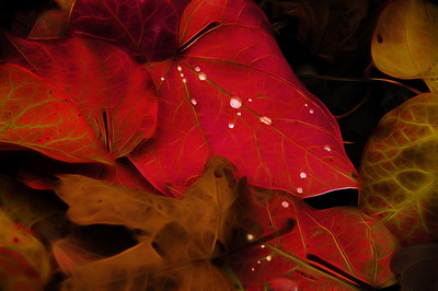 "27 Nov 12.  The image for today is designed to showcase an inexpensive filter that I frequently like to employ when working on the creative images, or when needing to add just a little bit of glitz to enhance what was already there. Fractalius is a windows only plugin, but I'm thinking one day soon it should be available for other OSs. The filter has about 12 different settings with each of those having an infinite amount of control in creating the desired effect. If you are a windows user and like to play with your images, this might be the perfect Christmas gift to yourself. The author states that it is designed to pull out ""the so-called hidden fractal textures of any image."" The leaf I'm sharing today has a number of droplets of water on it that were sparkling in the on again / off again sunlight that was filtering through the clouds the day I took the shot. My goal in the image was to both highlight the water droplets in addition to showing the macro structure of the leaf, much as you might see if you were to hold it up to a bright shaft of light with the rear of the leaf facing you. The leaves comprising the perimeter show this better than do those in the middle, while those in the middle show off the water droplets. To get this result I first built a detail manipulation layer on top of the base image, reduced the effect to about 50%, duped that layer and ran the fractalius filter backing it off to about 65% for this result.Then I painted out the effect on the water droplets, and finally ran a curves adjustment to darken the overall image somewhat, masking the darkening from areas where it didn't help. The final manipulation was then flattened and saved for the web. Nikon D300s; 18 - 200; Aperture Priority; ISO 400; 1/400 sec @ f / 7.1."