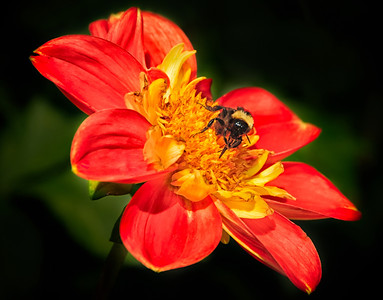 02 Oct 12.  We'll take a break from the landscapes today and venture back to that dahlia garden at the Silverdale post office. Along with the hundreds of lovely flowers were an equal number of pollinating insect, so many so, that I couldn't resist working on that perfect bee photo. Not there quite yet, but this one is getting closer. Still haven't quite got it down to where I can get a very sharp insect, an almost as sharp flower, and do it with the competition from the wind. Now, I could of course resort to the old photographic trick, still employed by thousands of very good photographers but generally not admitted, of capturing the insect, placing it in the refer to slow it down, and then placing it on the flower where desired and photographing it as it returns to normal body temp. In the process I'd likely get the insect doing what I'd like where I want it to be, but so far I've not resorted to that clever trick. So here you have a very active bee on a flower that is swaying in the wind and still reasonably sharp, caught in the act of retrieving some nectar. I've enhanced the bee a wee bit to compensate for the shadow on it's head, otherwise, it is a straight shot. D300s; Aperture Priority;  ISO 200; 1/800 sec @ f / 9.