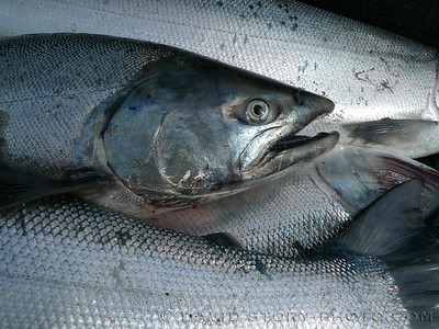 Sockeye salmon (Oncorhynchus nerka).