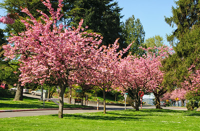 "26 Apr 13.  One more of the cherry blossoms before they paint the ground pink for another year. Now growing up in the SW area of Lake Washington in the 50s and 60s meant that you spent a fair amount of time in either Seward Park or the shoreline nearby. At the time we were in high school there was a loop road around the perimeter of the park that closely followed the shoreline. There were also plenty of intersecting roads that took you through different areas of the park as well as many pullouts. The official speed was 25 MPH, and in fact you could drive that speed, but only on weekdays and bad weather weekends during the school year. The rest of the time it was cruis'n space for every red blooded guy and gal. If you were lucky, you might hit the loop on a summer day when the speed was greater than 3 MPH, but that would have been a rare day. Showing off your wheels and girl was the primo event of every nice day, and it would be hard to say what got top billing, the wheels or the girls in them. A fun time for all, and a great time to grow up. The shoreline would be packed with cars and teenagers in them nightly to watch the ""submarine races"", and to be sure, more than a few ""tricycle motors"" got their start from such activity. But it  was great fun, and a time when life was far more light hearted. A time of Elvis, the Everely Brothers, and the Beach Boys. And muscle cars!!! Tim Allen kind of power! Now the loop road is gone, and all that remains is one short leg you can traverse in just a few minutes. So to all the great musical biggies, the muscle cars, and the good make out areas, now gated with cyclone fences and physically locked. You can of course still go see the beautiful trees, but the fun stuff is, I'm afraid, gone forever.  Nikon D300s; 18 - 200; Aperture Priority; 1/160 sec @ f /13."